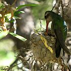 Broad-billed Hummingbird ~ Life Begins by Kimberly P-Chadwick