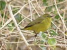 Orange-crowned Warbler by Kimberly Chadwick