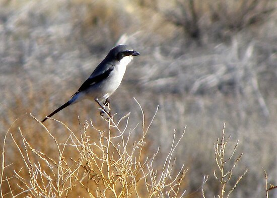 Loggerhead Shrike by Kimberly Chadwick