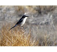 Loggerhead Shrike Photographic Print