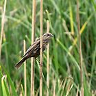 Red-winged Blackbird ~ Female by Kimberly P-Chadwick