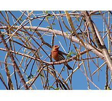House Finch ~ Male Photographic Print