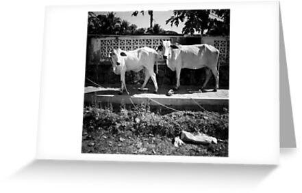 cows, kep, cambodia by tiro