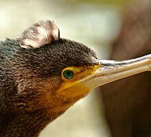 Great Cormorant II by Tom Newman