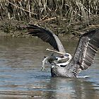 Pelican Balancing Capture of Large Fish by Joe Jennelle