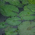Tropical Raindrops &amp; Water Lilly Pads  by Kerryn Madsen-Pietsch