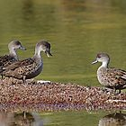 Talkative Teal by Keith Lightbody