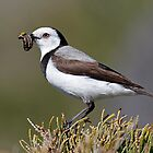 White Fronted Chat by Keith Lightbody