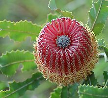 Menzies Banksia by Keith Lightbody