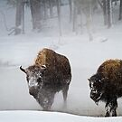 Yellowstone Bison Wandering Through Snow by cavaroc