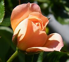 Peach Rose Bud by LoneAngel