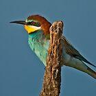 European Bee-eater (Merops apiaster) by Konstantinos Arvanitopoulos