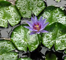 Waterlilies In The Morning - Grenada by Lorna81