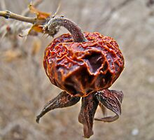 Winter Beach Rose Hips (Rosa rugosa) by MotherNature