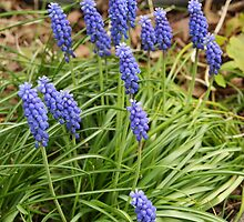 Grape Hyacinths - Harbinger of Spring  by Margie Avellino
