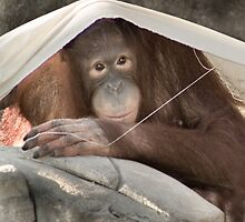 """Sun Shade"" - an orangutan creates shade by John Hartung"