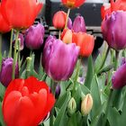 Vintage tulips by Fizzgig7