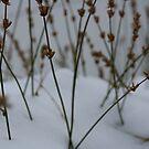 Winter's Bloom by illPlanet