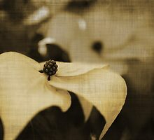 Dogwood - Sepia by Terrie Taylor