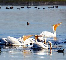 American White Pelicans  by bozette