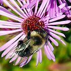 Bee on Aster (macro) by bozette