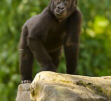 Western Lowlands Gorilla 5 by John Caddell