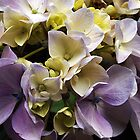 Hydrangea - mixed colours  by Bev Pascoe