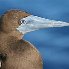 Brown Booby by Keith Lightbody
