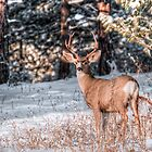 Morning Buck by Mike Hendren