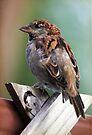 Little Brown Sparrow by yolanda