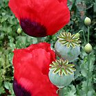 poppy by pic4you