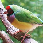 Gouldian Finch by Michael John