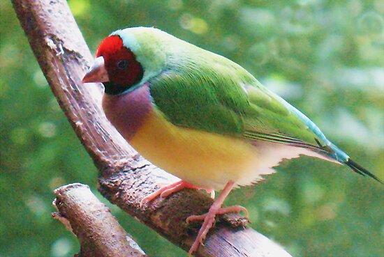 Gouldian Finch by Michael John