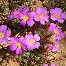 Pink in the desert by DEB CAMERON