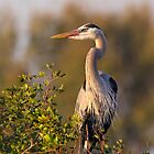 Great Blue Heron by bettywiley