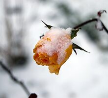 Snow Covered Rose by GaryDanton