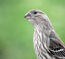 Female House Finch by Gretchen Dunham