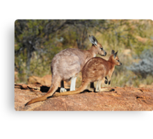 Skippy - Mother and Joey. Canvas Print