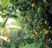 A walk through a lemon and orange grove by DeborahDinah