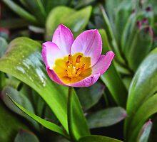 Tiny Tulip by rocamiadesign