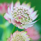Astrantia: a soft view by Hirondelles