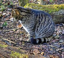 Scottish Wildcat by Tom Gomez