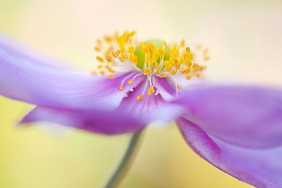 Japanese Anemone by Mandy Disher
