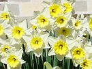 Spring Floral Daffodils Garden Yellow art Baslee Troutman by BasleeArtPrints