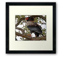 Bateleur Eagle Framed Print