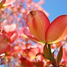 Sunlit Pink Dogwood Tree Flowers Spring Baslee Troutman by BasleeArtPrints