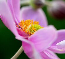Japanese Anenome - Oriental Delight - No2 by Kay M Gregan