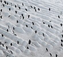 Penguin Highway Antarctic Circle by Robert van Koesveld