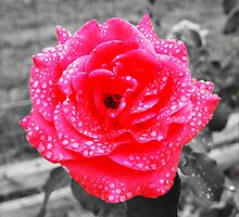 Water Drop the Rose  by tashelise