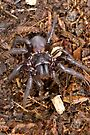 Funnel-Web Spider (Female) by Normf